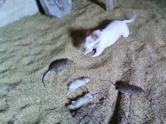 Rotta, Mimmi, rottakoira